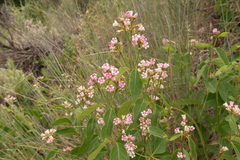 Apocynum androsaemifolium, Dogbane, Wasatch Range
