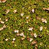 Azorella lycopodioides (photograph by Kok van Herk)