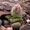 Perezia megalantha (photograph by Kok van Herk)