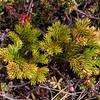 Lycopodium magellanicum (photograph by Kok van Herk)