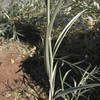 Hyalis argentea, Neuquen