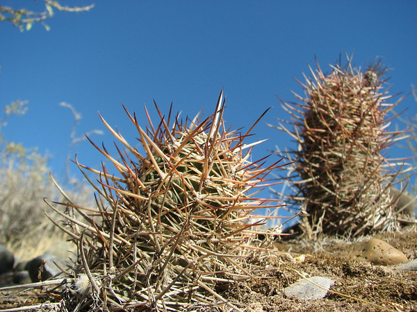 Around the city of Neuquén, January 2010 (cacti and other plants typical for Monte phytogeographical province)