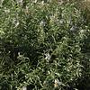 Solanum spec., Neuquen
