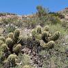 Echinopsis candicans (syn. Trichocereus candicans), between Los Molles and San Carlos (Pareditas)