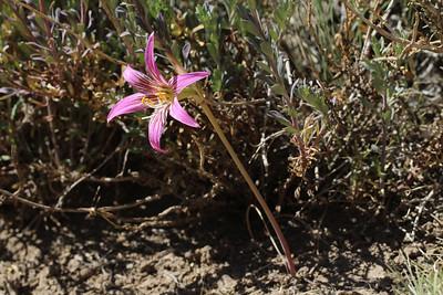 Rhodolirium montanum, syn. Rhodophiala rhodolirion