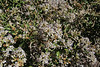 Proustia cuneifolia var. <br /> mendocina