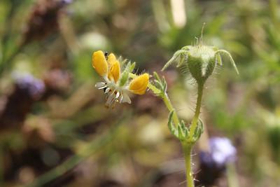 Loasa spec., not Blumenbachia dissecta is it?