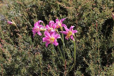 Rhodolirium montanum, syn. Rhodophiala rhodolirion, and Berberis empetrifolia