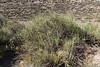 Neosparton aphyllum (Retamilla in Spanish)