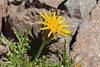 Hypochaeris aff. tenuifolia (half-way up the Argentinian side of La Cumbre pass, near the Chilean border)