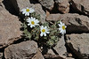 Chaetanthera lycopodioides (half-way up the Argentinian side of La Cumbre pass, near the Chilean border)
