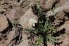 Perezia carthamoides (half-way up the Argentinian side of La Cumbre pass, near the Chilean border)