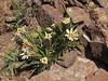 Perezia linearis (photograph by Joan McCaughey)
