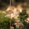 Arachnitis uniflora (Parque Nacional Los Alerces)
