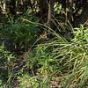 Uncinia erinacea (Parque Nacional Los Alerces)