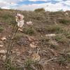 Olsynium junceum (between Las Horquetas and Parque Nacional Perito Moreno)