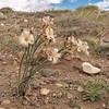 Olsynium biflorum (between Las Horquetas and Parque Nacional Perito Moreno)