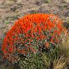 Anarthrophyllum desideratum unusual colour form (between Las Horquetas and Parque Nacional Perito Moreno)