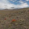 Anarthrophyllum desideratum (between Las Horquetas and Parque Nacional Perito Moreno)
