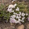 Junellia o'donellii (between Las Horquetas and Parque Nacional Perito Moreno)