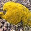 Benthamiella azorella (between Las Horquetas and Parque Nacional Perito Moreno)