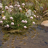 Armeria maritima (excursion along B2 to the base Cerro Tronador, Parque Nacional Nahuel Huapi)