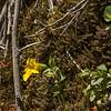 Mimulus luteus (excursion along B2 to the base Cerro Tronador, Parque Nacional Nahuel Huapi)