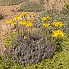 Senecio chilensis and Baccharis magellanica (along RN40, north of El Bolsón)