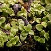 Calceolaria tenella (photograph by Kok van Herk)