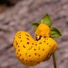 Calceolaria borsinii (photograph by Kok van Herk)