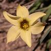 Sisyrinchium arenarium (photograph by Kok van Herk)