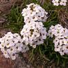 Onuris graminifolia (photograph by Kok van Herk)