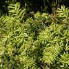 Saxegothaea conspicua (photograph by Kok van Herk)