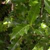 Desfontainia spinosa (photograph by Kok van Herk)