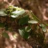 Asteranthera ovata (photograph by Kok van Herk)