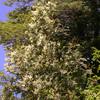 Weinmannia trichosperma and Lomatia ferruginea (photograph by Kok van Herk)