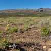Chloraea alpina x magellanica