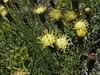 Senecio spec. (possibly a form filaginoides), Andacolla, Las Oviejas – Los Tachos