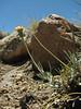 Senecio spec. (15cm, possibly filaginoides), Sendero Los Tachos