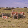 Guanaco - Lama guanicoe -(photograph by Kok van Herk)