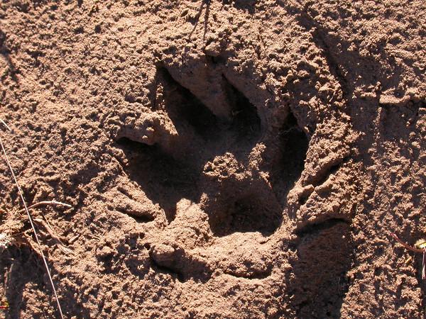 Footprints of Puma concolor (photograph by Kok van Herk)