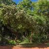 Inga vera ssp. affinis (Jardin Botanico Carlos Thays, Buenos Aires)