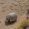 Chaetophractus villosus, big hairy armadillo the most abundant species of armadillo in Argentina