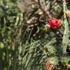 Opuntia spec. (Jardin Botanico Carlos Thays, Buenos Aires)