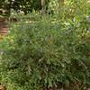 Polygala myrtifolia var. grandiflora (Jardin Botanico Carlos Thays, Buenos Aires)
