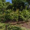 Ilex paraguariensis (Jardin Botanico Carlos Thays, Buenos Aires)