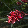 Aechmea distachantha (Jardin Botanico Carlos Thays, Buenos Aires)