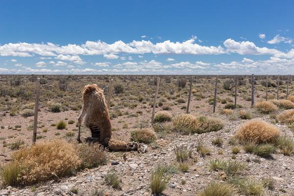 An unlucky guanaco