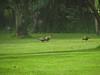 Theristicus caudatus (Ibis)