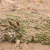 Perezia recurvata patagonica